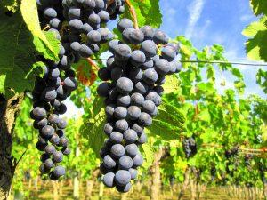 Viticulture Moulon